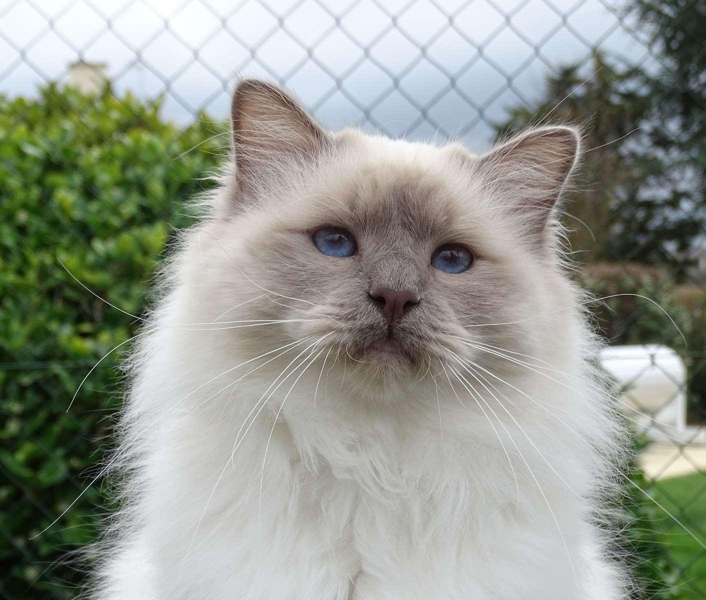 Au jardin des hesp rides sacr de birmanie chatons for Au jardin des hesperides